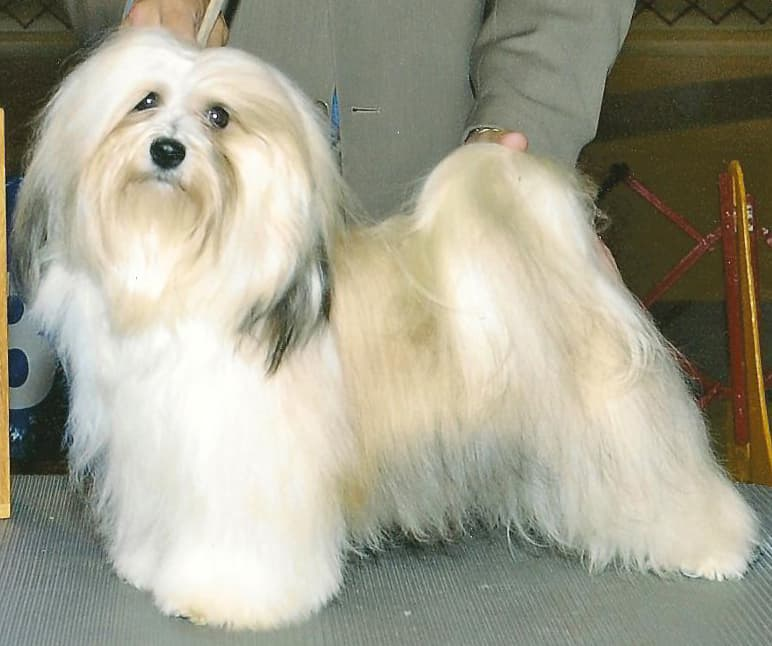 Show Me Pictures Of A Havanese Dog
